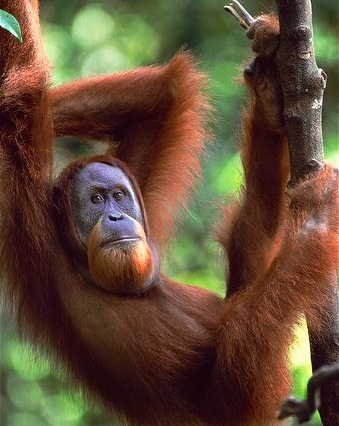 معلومات عن إنسان الغاب سومطرة - المرسال