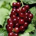 العنب الاحمر