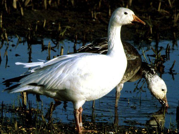 Snow-Goose.jpg