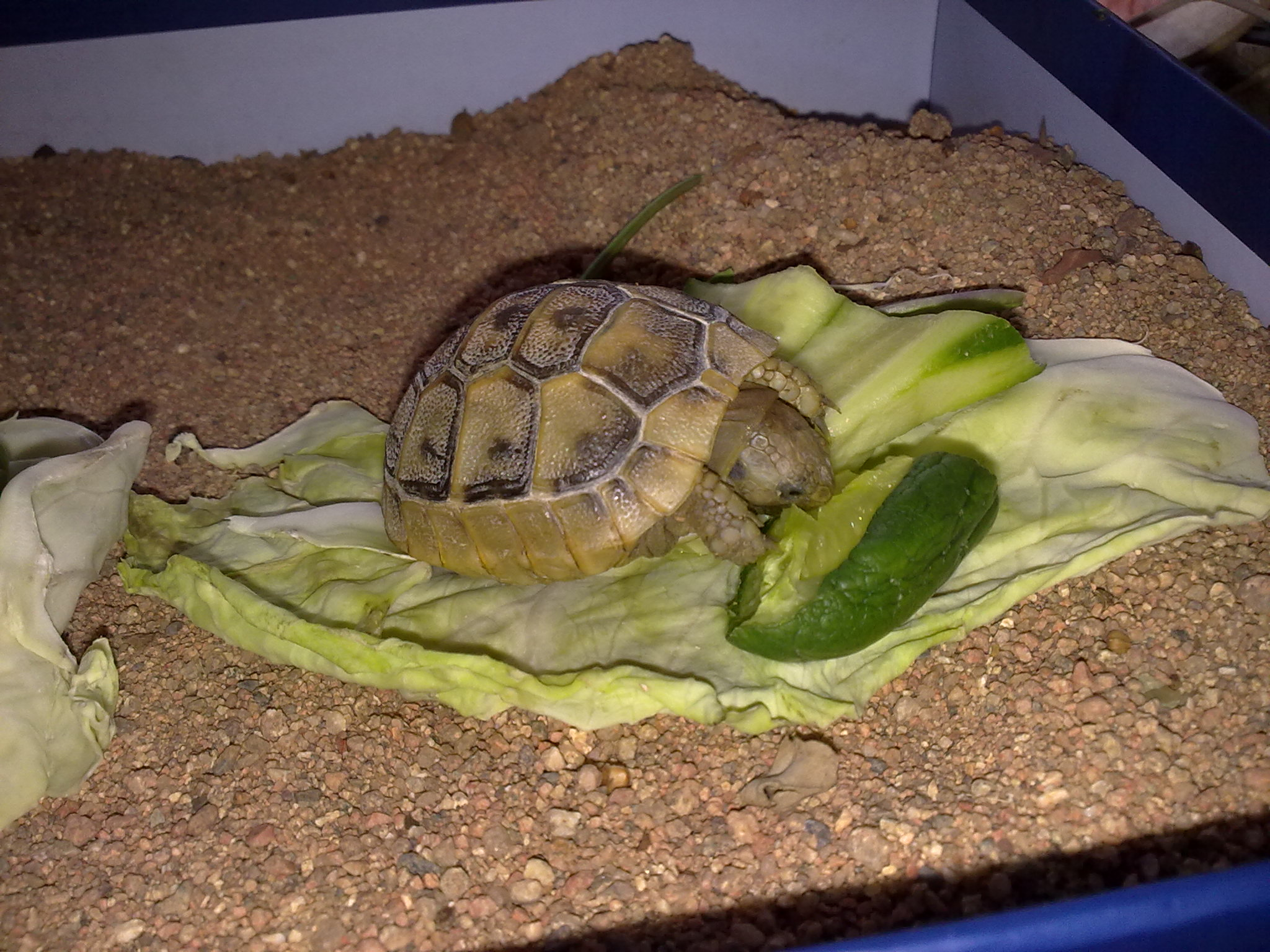 Содержание черепахи в домашних условиях Мир 40