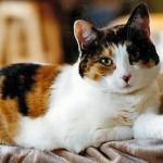 قطط كاليكو نوع من القطط المحلية