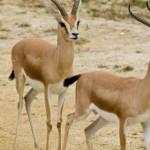 قائمة اسماء وصور الحيوانات الصحراوية