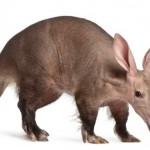 aardvark - 159046