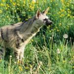 aardwolf - 159047