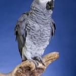 african-gray-parrot - 159050