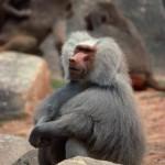 baboon - 159051
