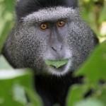 blue-monkey - 159054
