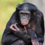 bonobo - 159056