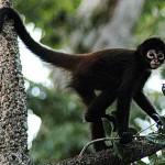 القرد العنكبوتي