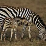 zebra - 159059