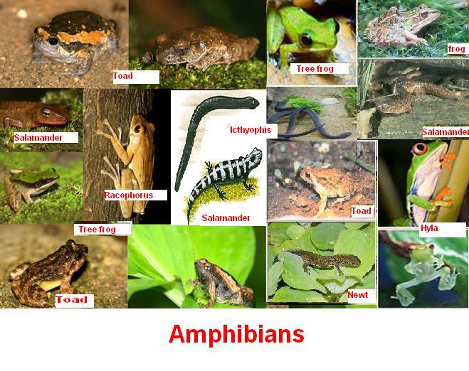 amphibians   المرسال 10 Examples Of Reptiles