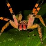 معلومات عن عنكبوت برازيلي جوال