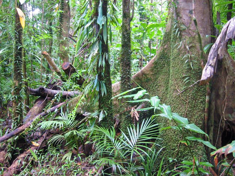 view of Rain Forest near Daintree, Queensland, Australia
