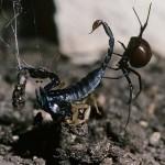 عنكبوت الارملة السوداء