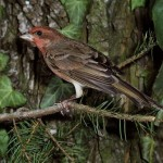 common rosefinch - 181747