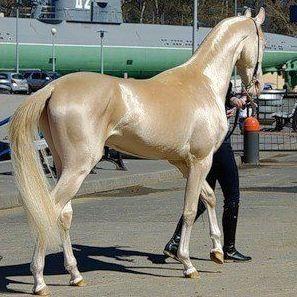 الحصان التركمانستاني   المرسال