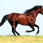 الحصان العربي هدية الصحراء الأصلية