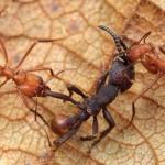 جيش النمل القوى الأشد فتكًا