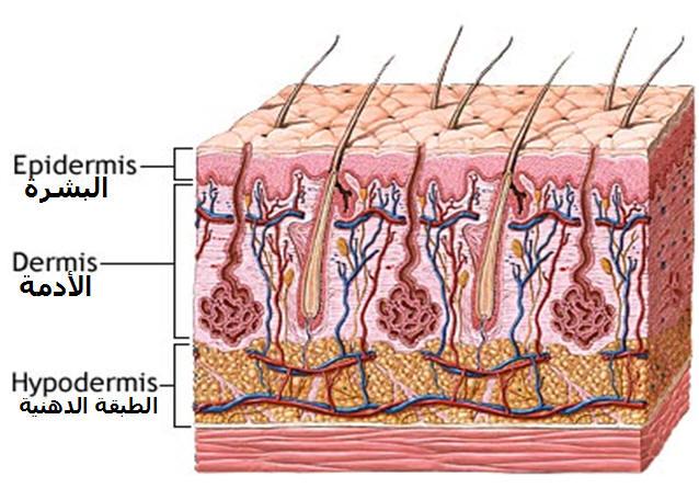 خلايا البشرة