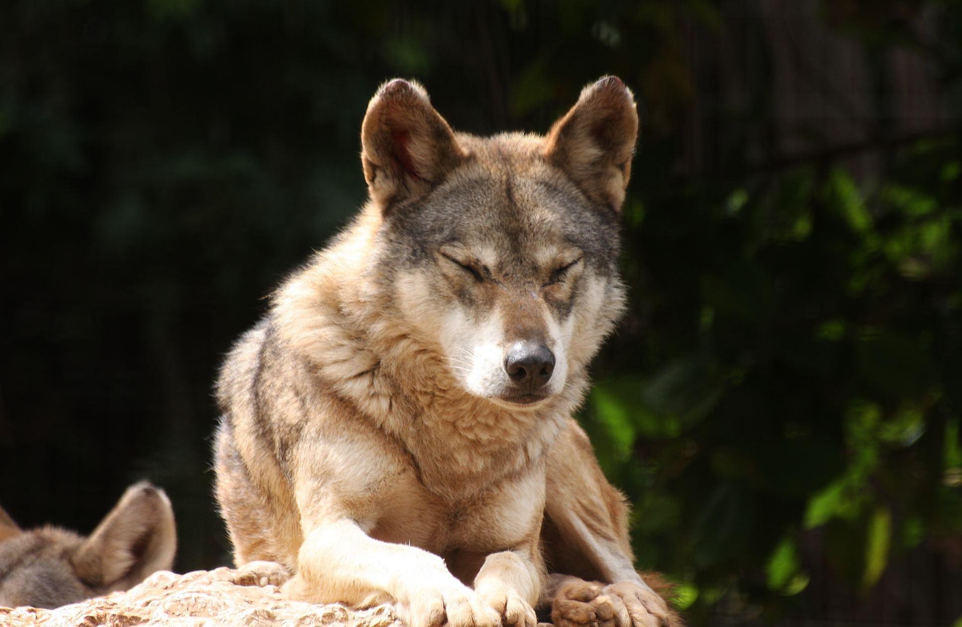 صوره الذئب وهو نائم