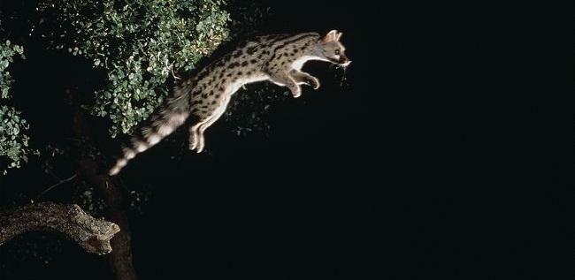 Common-genet-leaping