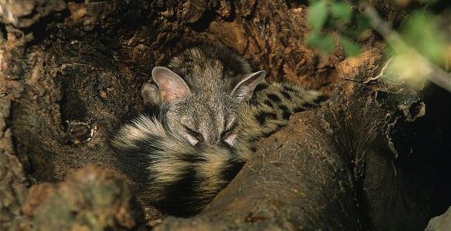 Common-genet-sleepin