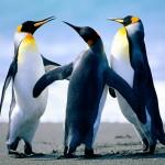 Penguins - 197445