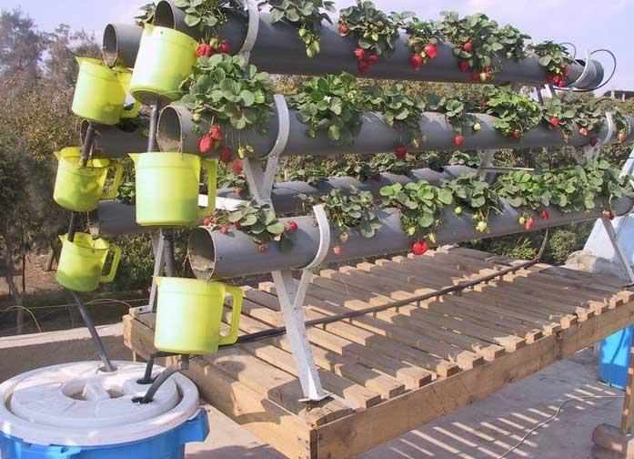 ����� ������ �������� ������ الزراعة-فوق-اسطح-المنازل-..-زراعة-الفراولة.jpg