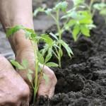 زراعة النباتات  الخضرية في المنزل