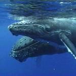 الجوت الازرق الحيوان الاكبر عالميا - 207600