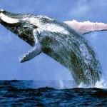 الحوت الازرق اكبر حيوان فى العالم - 207599