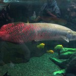 Arapaima Fish Scales - 204542