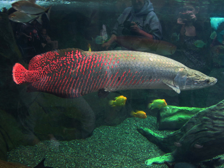 Arapaima Fish Scales