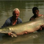 Arapaima caught fishing - 204541