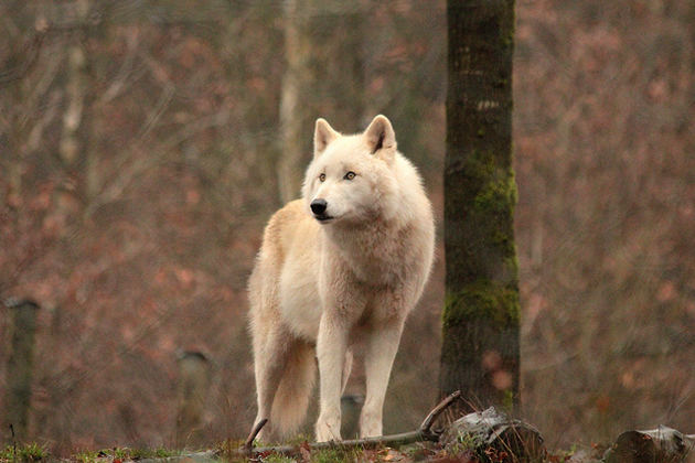 Arctic wolf also known as snow wolf