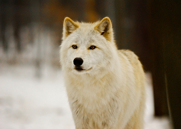 Arctic wolf also known as white wolf
