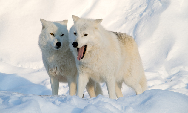 Arctic wolf has their fluffy fur