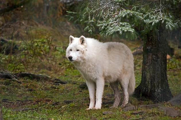 Arctic wolf have a soft and silky fluffy fur