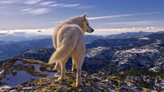 Arctic wolf in their natural life