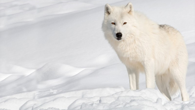 Arctic wolf in white colour