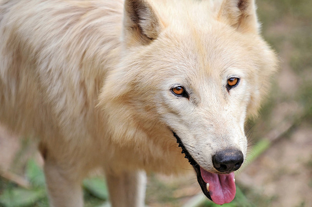 Arctic wolf is a mammal of family Candidate.