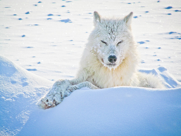 Arctic wolf is though rare