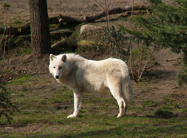 Arctic wolf photos
