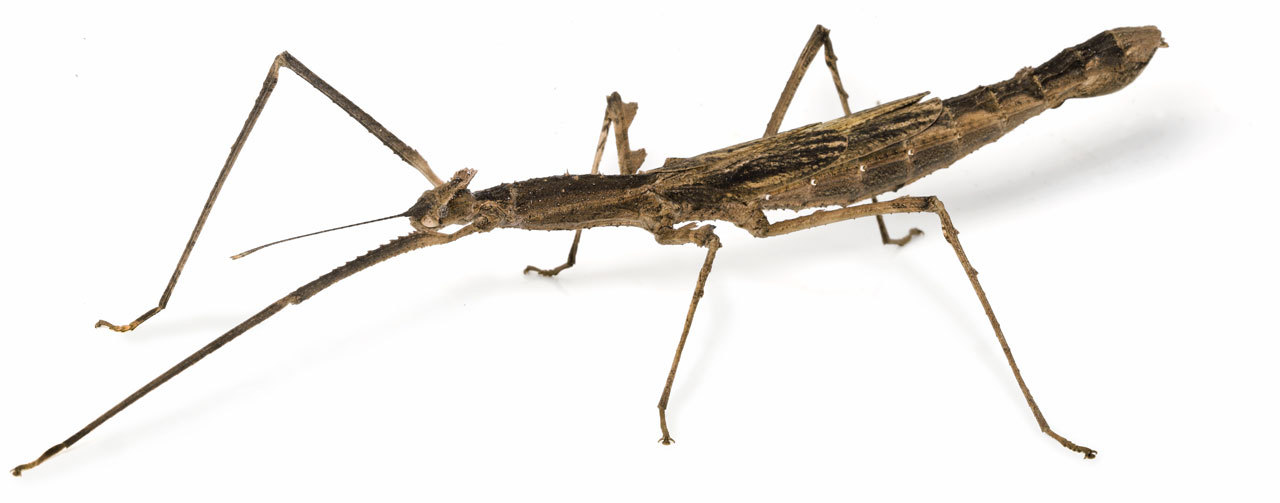 Crowned Stick Insect
