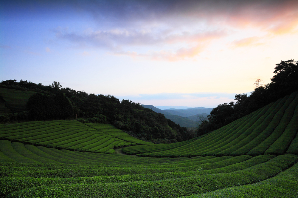 حقول الشاي Fields of Tea Fields-of-Tea.jpg