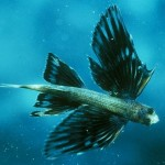 Four winged flying fish - 204299