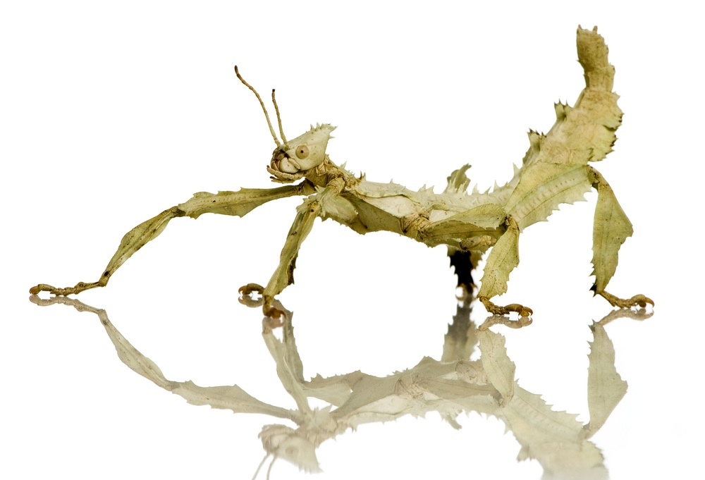newly-hatched stick insects