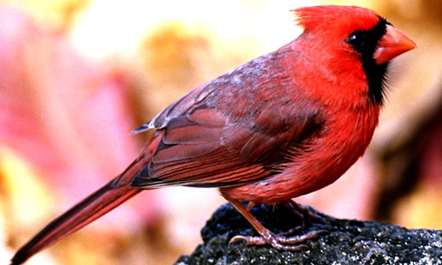 attract Cardinals to your yard