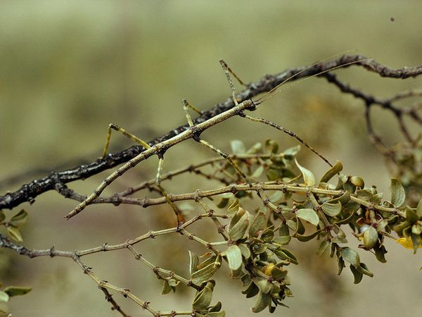 Photo of Stick insect