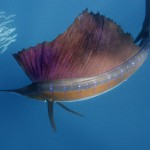 Sailfish is the fastest fish the world. - 204303